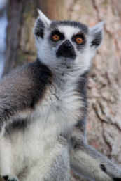 Lemur image 3