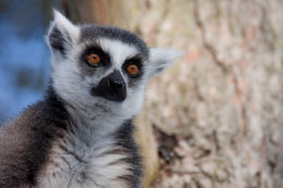 Lemur image 1