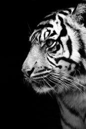 Tiger black & white