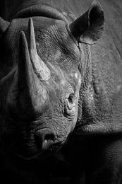 Rhino black & white