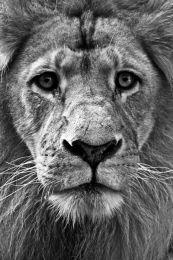Lion portrait (Black & white)