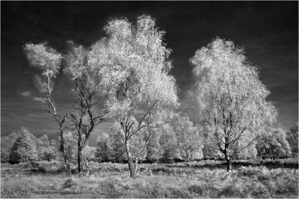 Silver Birches on Cannock Chase 3