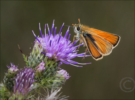Large Tortoiseshell Butterfly at Brocton