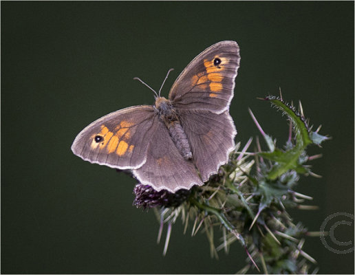 Meadow Brown Butterfly on Cannock Chase