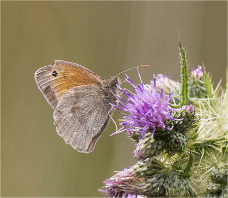 Gatekeeper Butterfly on Cannock Chase 1