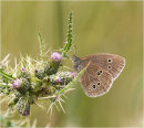 Ringlet Butterfly on Cannock Chase