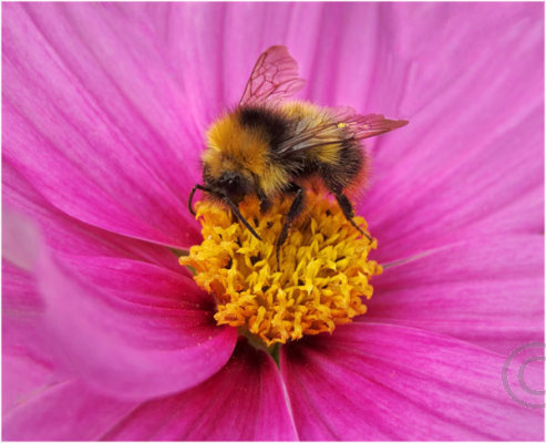 Bumble Bee on Flower 2
