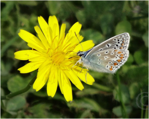Common Blue Butterfly on Yellow Flower