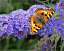 Tortoiseshell Butterfly on Buddlea