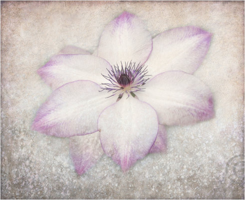 Clematis Expression