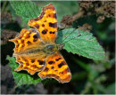 Comma Butterfly at Rest 2