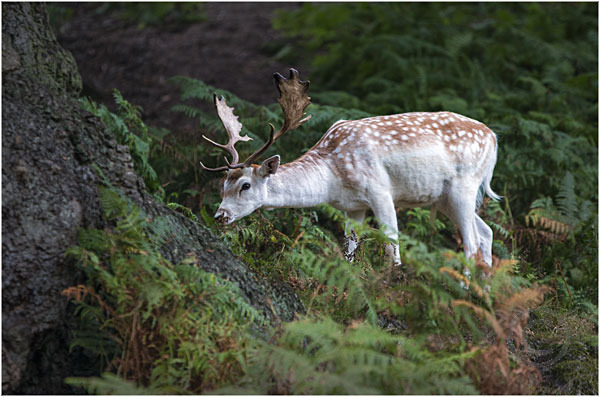 Deer at Bradgate Park 5
