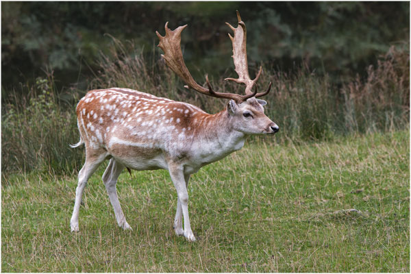 Deer at Bradgate Park 6