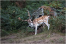 Deer at Bradgate Park 7