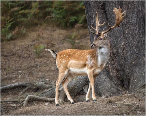 Deer at Bradgate Park 8