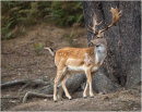 Deer at Bradgate Park 8
