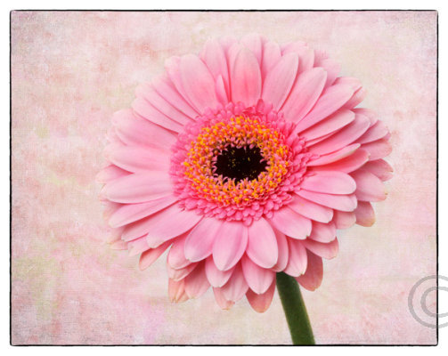 Gerbera Pink Expression