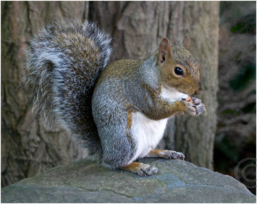 Grey Squirrel Eating Peanut