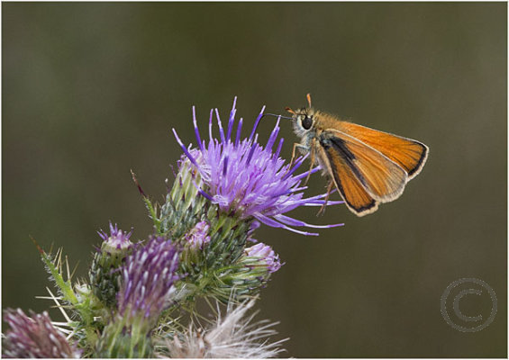 Large Skipper on Thistle