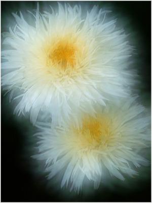 Lucanthemum 2