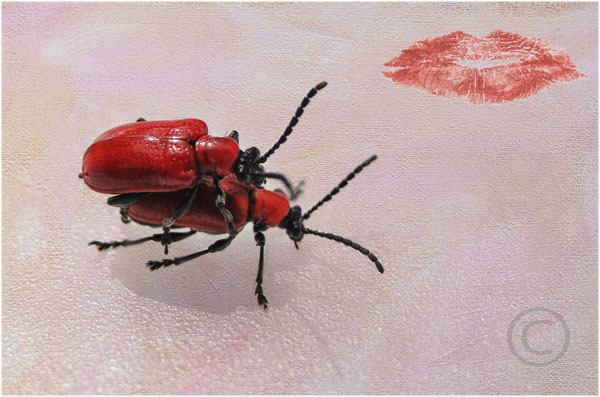 Lily Beetle Amore