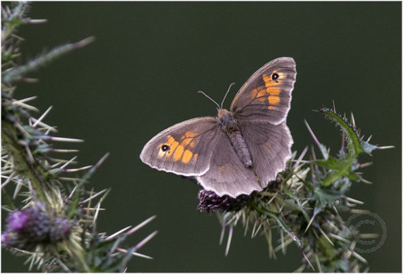 Meadow Brown Butterfly on Thistle