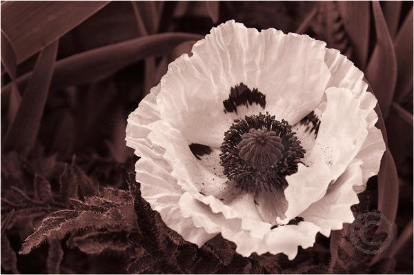Mono Poppy