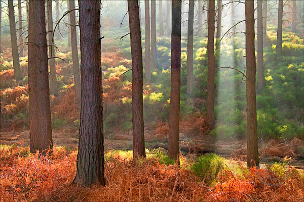 Morning Light on Pine Trees Cannock Chase
