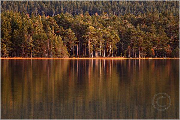 Pines in Afternoon Light