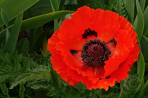 Red Garden Poppy