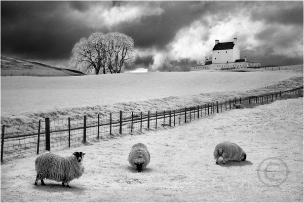 Sheep Grazing at Corgarff Castle