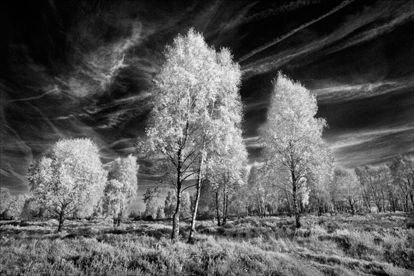 Silver Birches on Cannock Chase