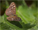 Speckled Wood Butterfly on Nettle