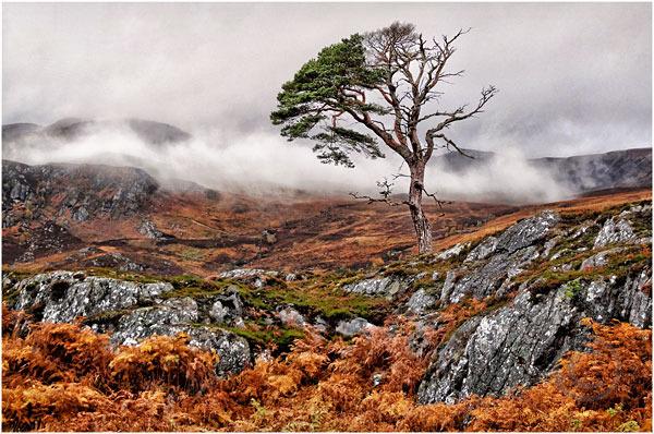 Glen Affric Tree