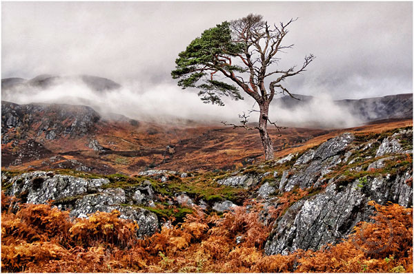 Lone Tree in Glen Affric