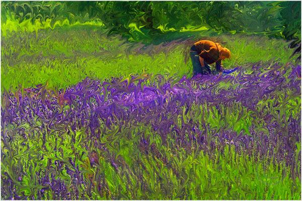 The Lavender Picker