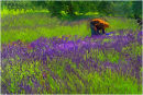 The Lavender Picker