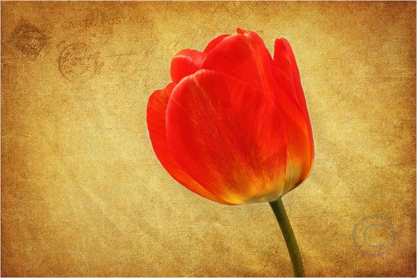 Tulip Expression