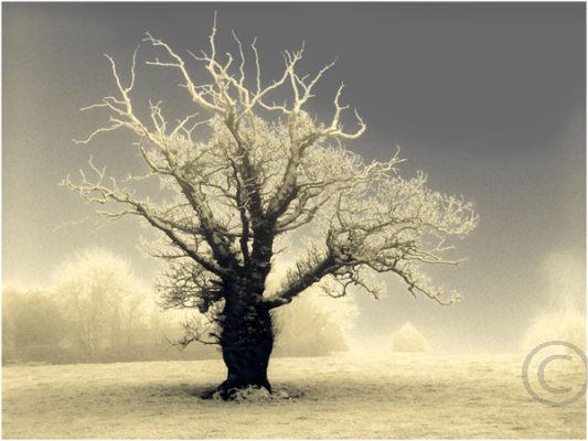 Wintry Tree 1