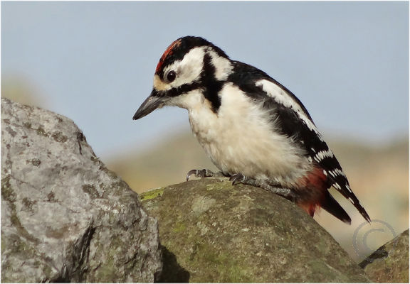 Woodpecker on Wall