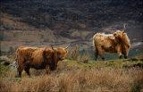 Welsh highland cattle