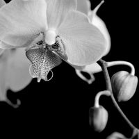 Black & white moth orchid III