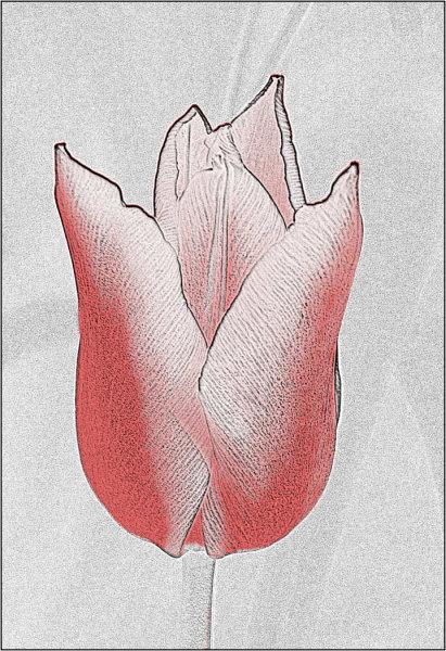 towy valley camera club tulip sketch sion arrowsmith