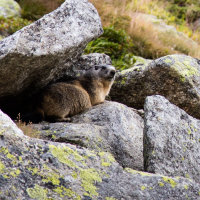 St Gotthard Marmot