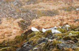 A covey of resting Ptarmigan