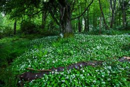 Lush, damp woodlands surrounding Culzean