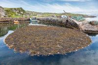 Rodel Seaweed Harvest