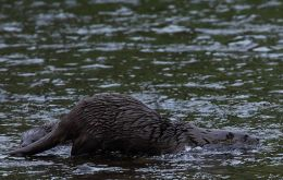 Otter (Lutra lutra) Nose to Tail