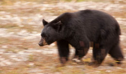 A magnificent black bear panning for flowerheads in Jasper N.P.