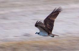 Panning for an Osprey (Pandion haliaetus)
